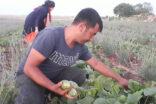 Şanlıurfa'da şelengo hasadı