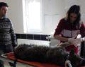 Yaralı halde bulunan kurt tedavi altına alındı