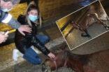 Yaralı at için herkes seferber oldu