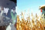 Bakan Soylu Şanlıurfa'da mısır hasadı yaptı
