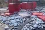 Tonlarca balık yola döküldü