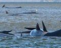 Ada'da 90 ölü balina bulundu