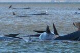 Tazmanya adası açıklarında 90 ölü balina bulundu