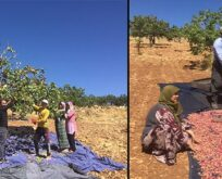 Türkiye'nin fıstık ambarı: Şanlıurfa