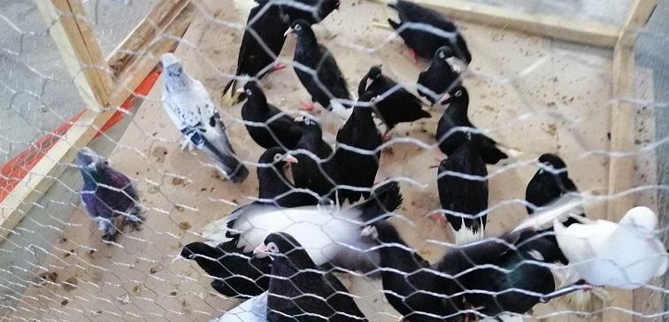 Hayrabolu'da güvercin festivali düzenlendi