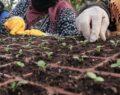 Büyükşehir'den çiçek üretimi