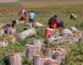 Urfa'lı tarım işçilerin hasat mücadelesi