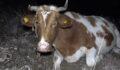Ayağı kırılan inek dağda mahsur kaldı