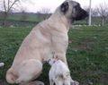 Annesiz yavru keçiye köpek sahip çıktı, her gün emziriyor