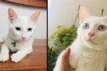 Şanlıurfa'da, Ankara kedisi kayboldu!