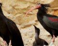Şanlıura'da yaşayan kelaynaklar bu yıl rekor kırdı