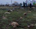 Şanlıurfa'da kopan elektrik teli 11 koyunu telef etti