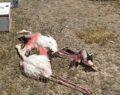Suna kuşu ve flamingo katliamına: 13 bin 237 lira ceza