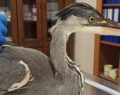 Şanlıurfa'da balıkçıl kuşu tedavi altına alındı