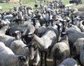 Kuzu makinası koyunlar Eskişehir'de