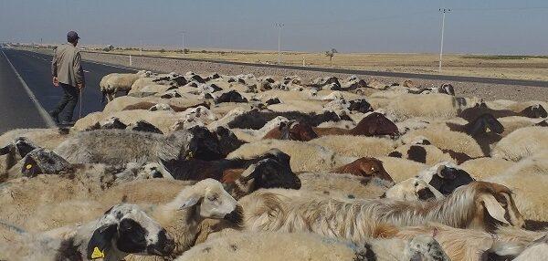 Şanlıurfa'da sıcak havada çalışan çobanların zor mücadelesi