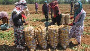 Nisan'da başlaması gereken patates hasadı Mayıs'ta geriledi