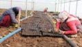 Şanlıurfa'da seracılık mevsimlik işçiliğin önüne geçiyor