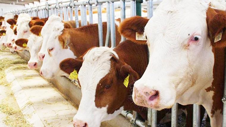 Et ve Süt Kurumu, 60.000 sığır ithal edecek