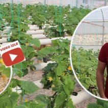 Topraksız salatalık yetiştiriyor!