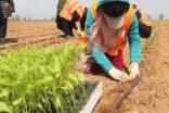 Yerli tohumlarla kendi biberini yetiştiriyor