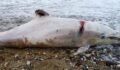 Yunus balığı tüfekle vurularak öldürüldü