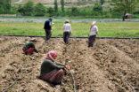 Çiftçilerin kavuran sıcaklarda mesaisi