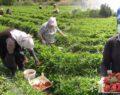 Kadın işçiler 1 Mayıs''ı tarlada geçirdi