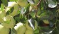 Hünnap meyvesi üretimi yaygınlaştırılacak