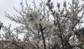Kayısı ağaçları donma tehlikesi altında