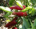 Afrika'da Maraş biberi üretilecek