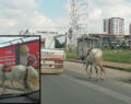 Atı iple bağlayıp kilometrelerce koşturdular