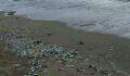 Telef olan yüzlerce balık sahile vurdu