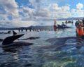 49 pilot balina karaya vurdu, 9'u öldü