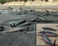 111 balina ölü bulundu