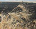Buğday ekili tarla yanarak kül oldu