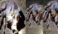 Şanlıurfa'da doğdu: 6 ayaklı, 2 başlı ve 2 kuyruklu