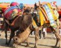 Pelitköy deve güreşleri