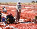 Şanlıurfa'da kurutulan domatesler yurt dışına ihraç ediliyor