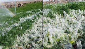 Şanlıurfa'da ekinler dondu