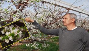 Erik ağaçları çiçek açtı