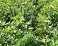 Akçakale'de 500 kök kenevir bitkisi ele geçirildi