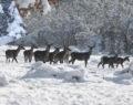 Geyikler karla kaplı ormanda drone ile görüntülendi