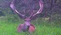 16 kızıl geyiğin ihaleyle öldürülmesinde yürütme durduruldu