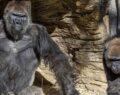 İlk kez korona gorillerde tespit edildi