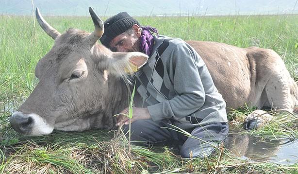 Bataklığa saplanan ineğin başından iki gecedir ayrılmıyor