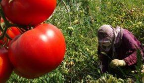 Sıcağın altında tarım işçilerinin tarlada zorlu mücadelesi