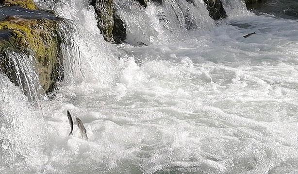 'Uçan balık' gösterisi başladı