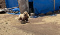 Şanlıurfa'da kavgada kurşunlanan köpek telef oldu