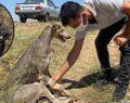 Suruç'ta yaralı köpek için seferber oldular